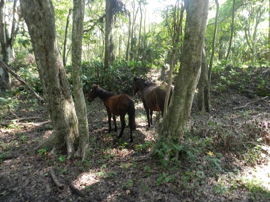 Na'alapa Stables - Waipio Valley: Some Of The Wild Horses