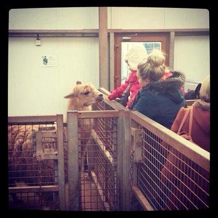Safari Zoo: Feeding the alpacas