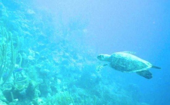 Grand Turk Diving : Hawksbill sea turtle