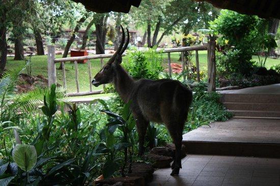 A'Zambezi River Lodge: Just roaming around