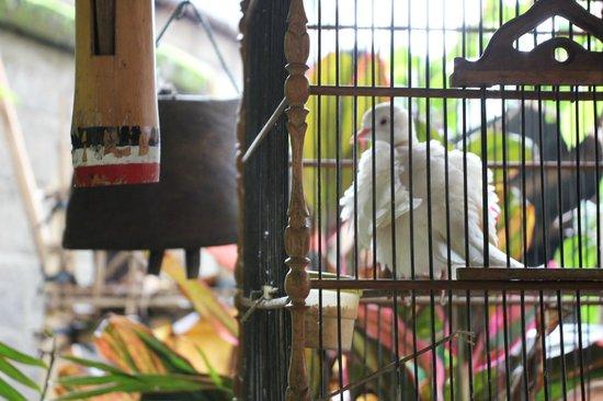 Sandat Bali: Die Tauben machen morgens beim Frühstück eine Menge Krach.