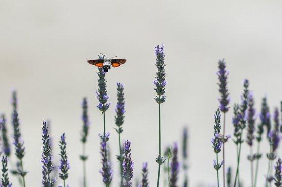 Les Carmes : Lavender