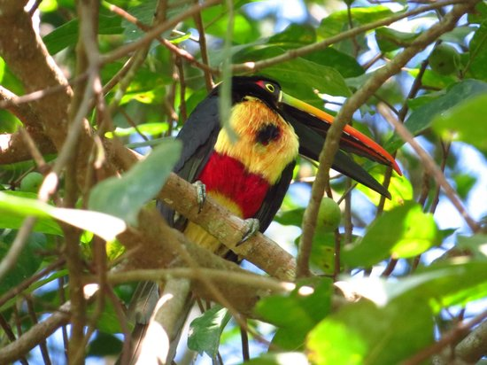 Hacienda Baru: aracari near dominical