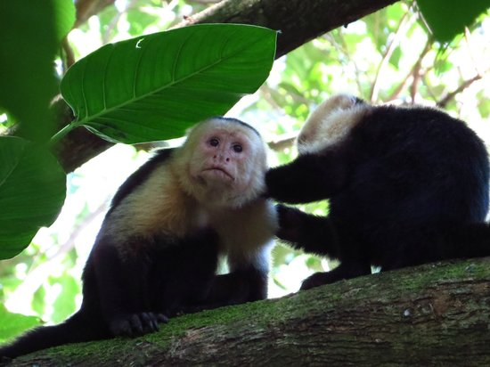 Hacienda Baru: white face monkies on the trail