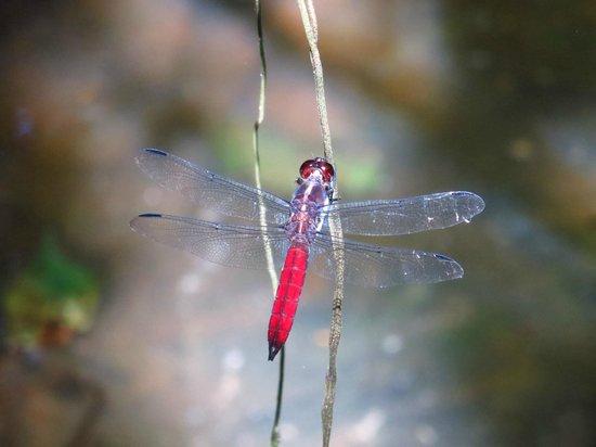 Hacienda Baru: dragonfly