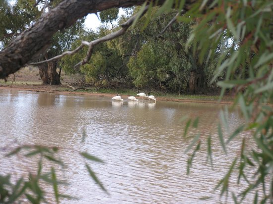 Kilcowera Station: yellow-billed spoonbill came to visit