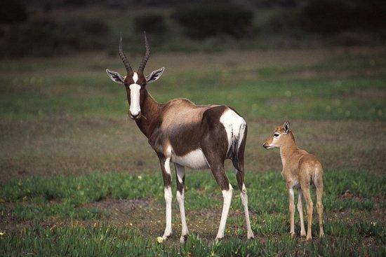 De Hoop Collection Nature Reserve : Bontebok