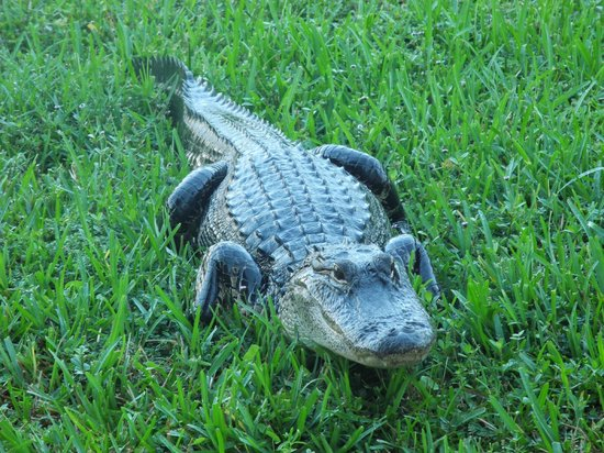 La Quinta Inn & Suites Sunrise: Alligator