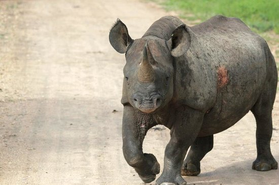 Rhino Walking Safaris at Plains Camp: Black Rhino Safari