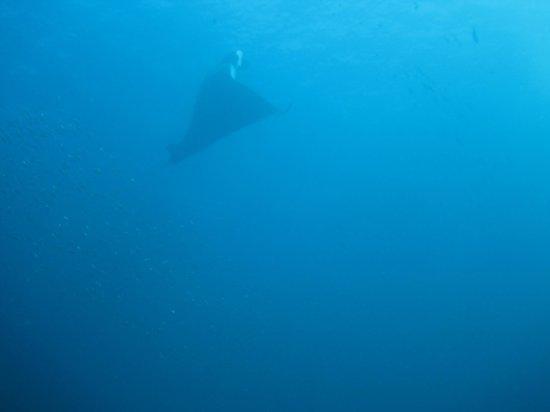 Liquid Adventure - Day Tours: manta ray
