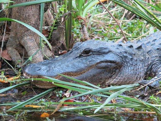 Shurr Adventure Company Day Tours : Alligator