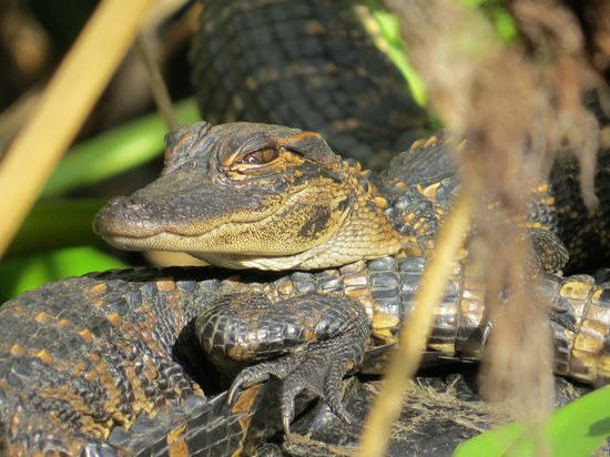 Shurr Adventure Company Day Tours : Baby Alligator