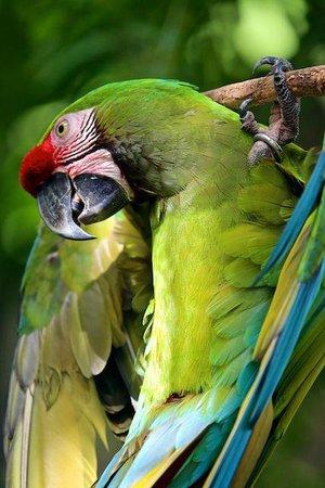 Bali Bird Park: Ara playing in the morning