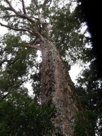 Tsitsikamma Village Inn : Big tree