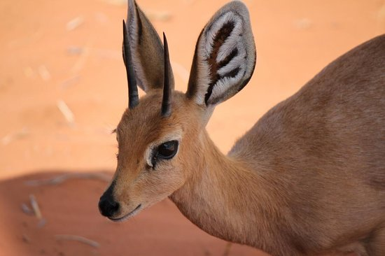 Wolwedans Dune Camp: A steenbok visits