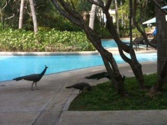 Hilton Phuket Arcadia Resort & Spa: Peacocks at the resort