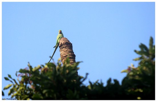 Chintamoni Kar Bird Sanctuary: Rose-ringed parakeet