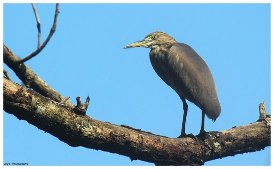 Chintamoni Kar Bird Sanctuary: A pond Heron on the watch