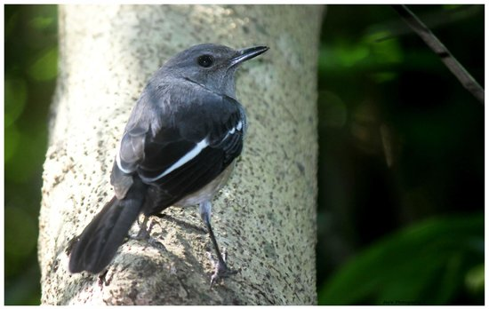 Chintamoni Kar Bird Sanctuary: Oriental Magpie Robin (female)