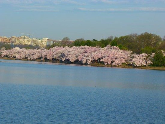 Tidal Basin: Cherry blossom at the basin