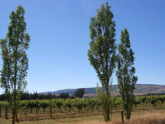 Annie's Loft And Studio: Waipara River Estate vineyard to Mt Cass - summer
