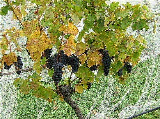 Annie's Loft And Studio: Waipara River Estate vineyard Pinot Noir ready to harvest