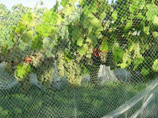 Annie's Loft And Studio: Waipara River Estate vineyard - Riesling under nets