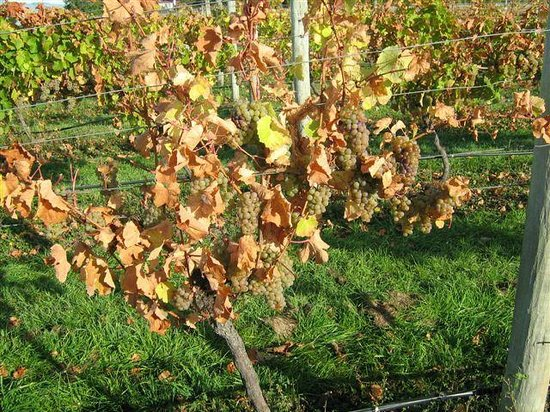 Annie's Loft And Studio: Waipara River Estate vineyard - Riesling ready for harvest
