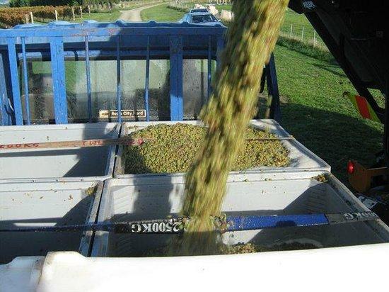 Annie's Loft And Studio: Waipara River Estate vineyard - Riesling machine harvested into bins
