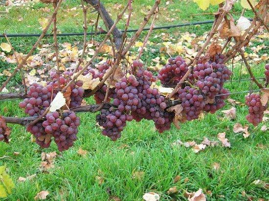 Annie's Loft And Studio: Waipara River Estate vineyard - Gewurtztraminer ready to harvest
