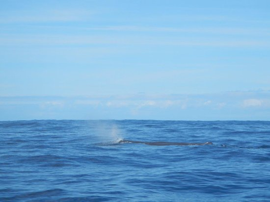 Inia Whale Watching: Pottwal auf der Inia