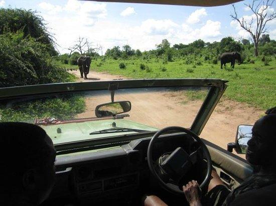 Steenbok Safari: Encountering elephants on the road