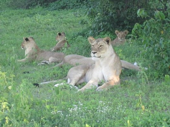 Steenbok Safari: Spotting seven lions resting in the afternoon shade