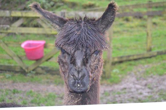 North Hayne Farm Cottages: Cocoa the Alpaca