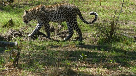Flatdogs Camp : leopard got bored and going away