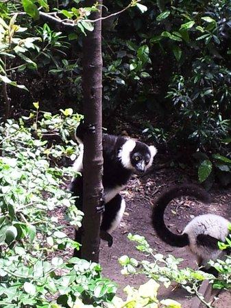 Monkeyland Primate Sanctuary: Black and white ruffed lemur