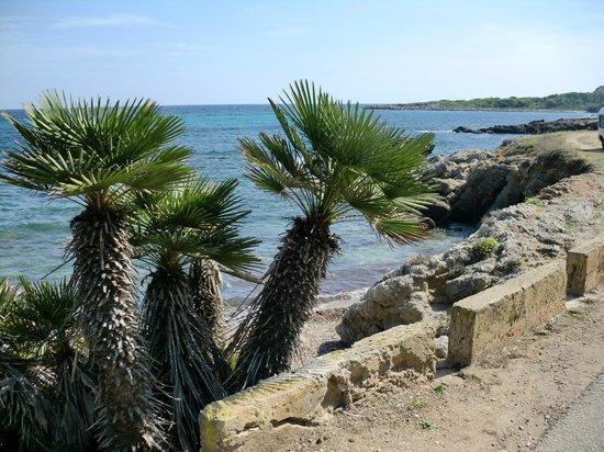 Cala Agulla: COASTAL PATH- CHAMEROPS HUMILIS PALM NATIVE TO MALLORCA