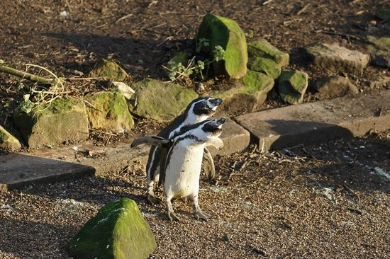Dudley Zoo and Castle : Pinguins having fun