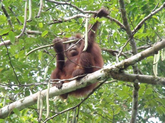 Danum Valley Field Center: Juvenile orangutan