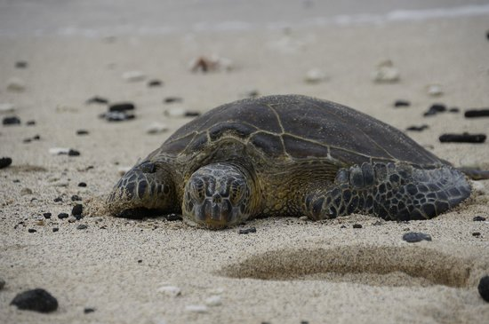 Four Seasons Resort Hualalai: turtle on the beach