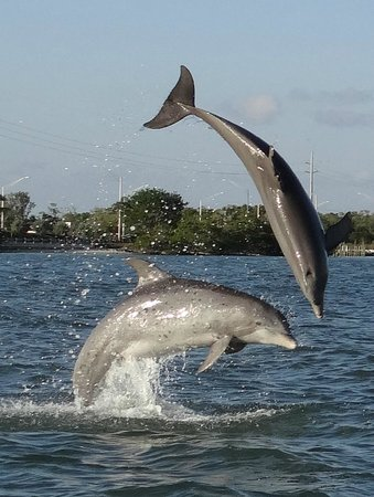 Marco Island, FL: dolphins playing
