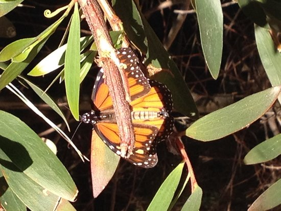 Monarch Grove Sanctuary: Butterfly close up