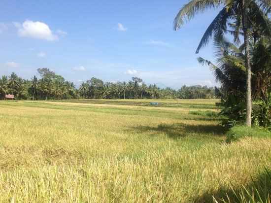 Jiwa Damai Organic Garden & Retreat : Rice Fields
