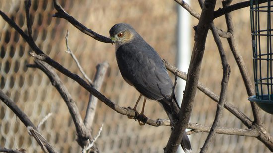 A Room With A View: Sharp-shinned Hawk (Paton House)