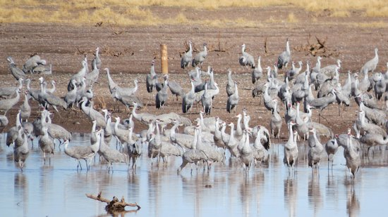 A Room With A View: Sandhill Cranes (Whitewater Draw)