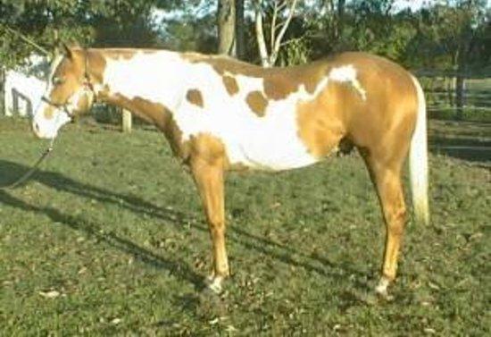 Brooloo Park Eco Retreat & Equine Resort: Western Dekota our Paint Quarter Horse stallion standing at Stud.