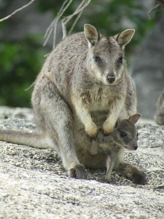 Granite Gorge Nature Park: Female wallaby with a joey in her pouch