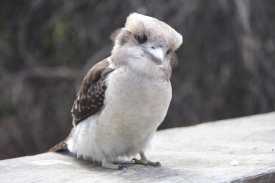 Kalgan River Chalets and Caravan Park: Kookaburras joining us for breakfast