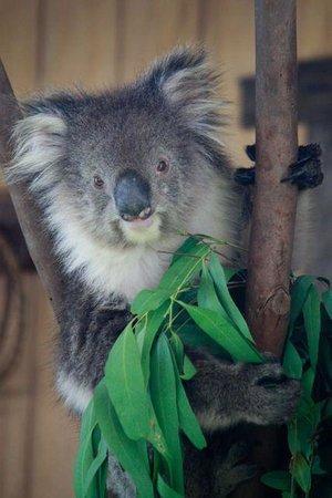 "Maru Koala and Animal Park : koala in the ""special presentation"""