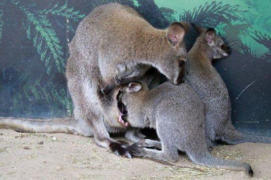 Maru Koala and Animal Park : amazing to watch these joeys